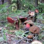 Grzyby w lesie pod Lubaniem