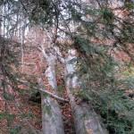 Olbrzymie powalone drzewo w dolinie Łopusznej