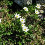 Sasanka alpejska – gatunek z rodziny jaskrowatych.