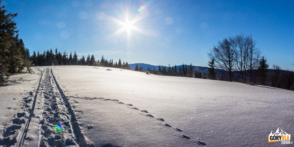 Wejście na polanę szczytowa Jałowca (1111 m) - nad drzewami widać Babia Górę