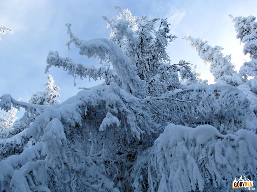 """""""Bajkowe"""" drzewa pod szczytem Ćwilina"""