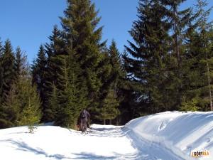 Narciarska trasa biegowa z Obidowej na Turbacz - na grani