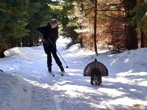 Spotkanie z głuszcem na narciarskiej trasie biegowej z Obidowej na Turbacz