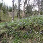 Kwiatowy dywan w Rezerwacie Białej Wody (barwinek mniejszy)