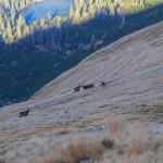Kozice na zboczu nad Czarną Młaką przy Rohackim Bufecie