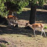 """Stado jeleni mandżurskich w gospodarstwie agroturystycznym """"Łapszańska Ostoja"""""""