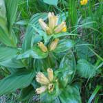 Goryczka kropkowana – gatunek rośliny rodziny goryczkowatych