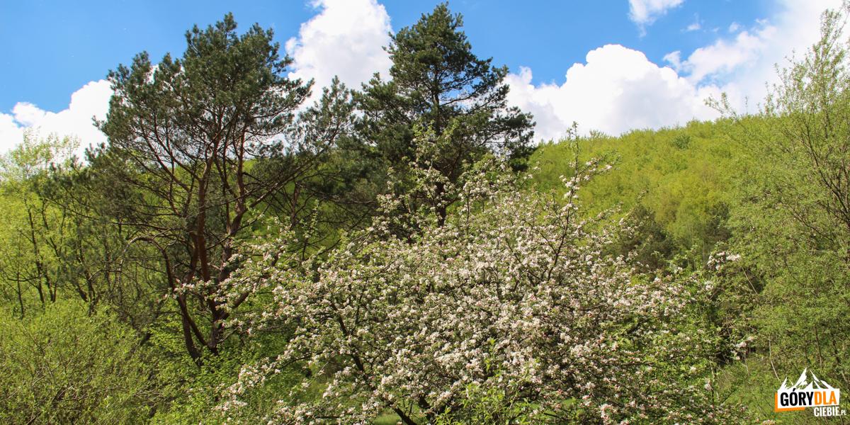 Owocowe drzewa wlesie - pozostałość ponieistniejących wsiach