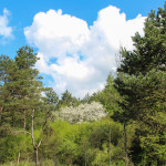 Owocowe drzewa w nieistniejącej już dzisiaj wsi Smereczne