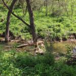 Drzewo podgryzione przez bobry