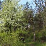 Owocowe drzewa w nieistniejącej już dzisiaj wsi Wilsznia
