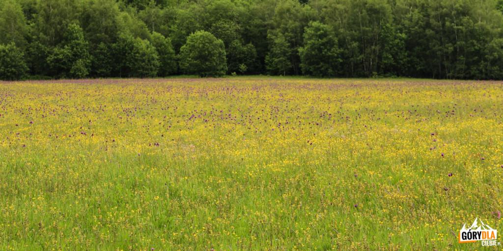 Kwiecista łąka przy szlaku zWołosatego naTarnicę