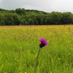 Fioletowo-złoty dywan - jaskry i ostrożeń łąkowy - przy szlaku z Wołosatego na Tarnicę (czerwiec 2016)