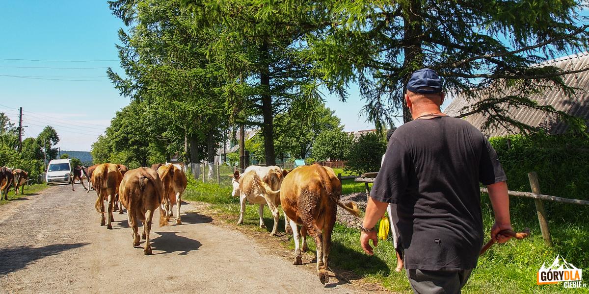 Stado krów wSiankach