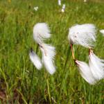 Eriophorum scheuchzeri – roślina typowa dla podmokłych terenów górskich
