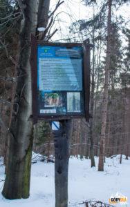"""""""Świerk Siłosław"""" pomnik przyrody przy żóltym szlaku na Polanę Krawcową i Jałowiec"""