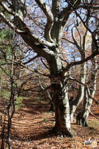 Oryginalne drzewa przed szczytem Pustej Wielkiej (1061 m)