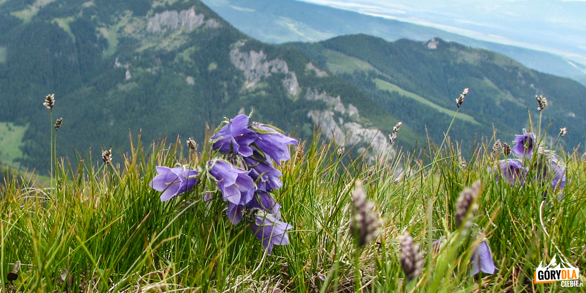 Dzwonek alpejski na grani Ornaku