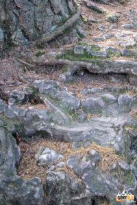 Sokola Perć - korzenie drzew wrastają w skalną grań