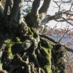 Sokola Perć - pnie i korzenie drzew wrastają w skalną grań