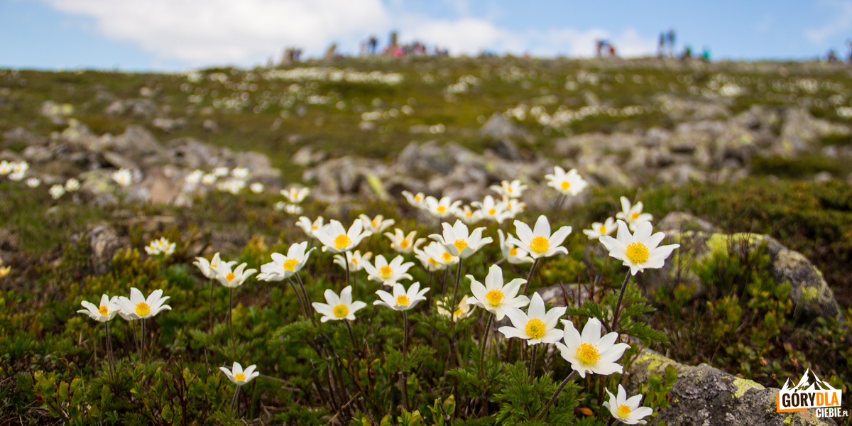 Sasanka alpejska na Babiej Górze (kwitnie od maja do czerwca)