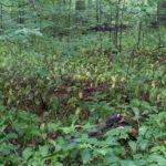 Czosnek niedźwiedzi - w lipcu jego liście już zanikają