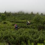 Podejście na Pikuj - ścieżka biegnie w gęstwinie jałowców