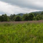 Kwitnący ostrożeń łąkowy