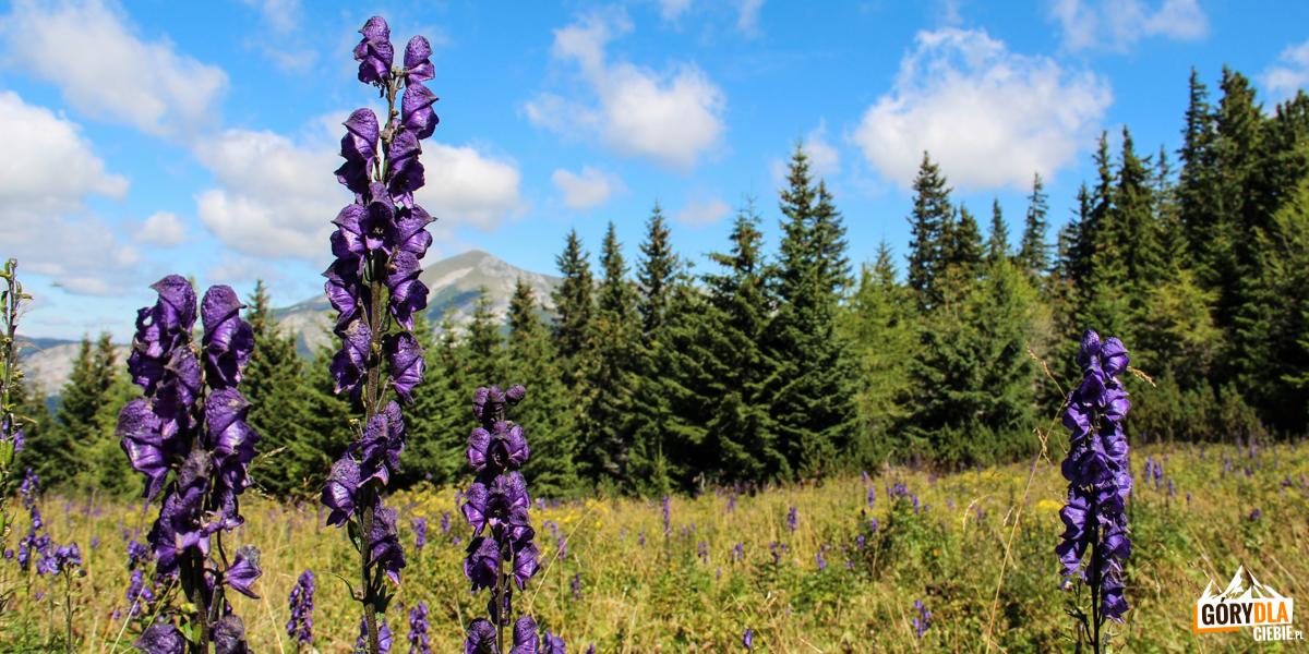 Piękny, ale bardzo trujący Tojad mocny (Aconitum firmum Rchb.). Ludowa nazwa to mordownik. Według mitologii greckiej tojad ma swój początek w ślinie trójgłowego psa Cerbera, stróża Hadesu.