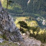 Sosenki porastające wapienne skały w Höllental