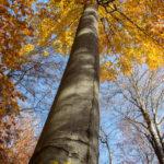 Okazały buk - jedno z 3 drzew doborowych wpisanych do rejestru bazy nasiennej w Polsce