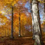 Piękny bukowy las - na szlaku z Dwernika Kamienia do Nasicznego. Znajdują się tu okazy wpisane do rejestru bazy nasiennej w Polsce