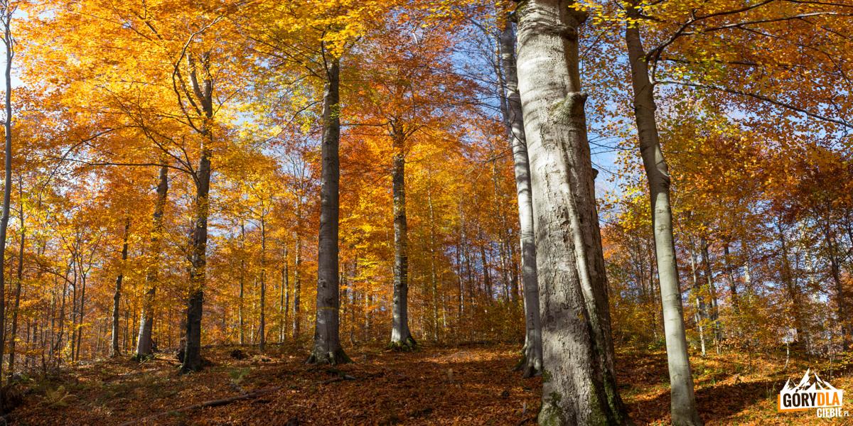 Piękny bukowy las - naszlaku zDwernika Kamienia doNasicznego. Znajdują się tu okazy wpisane dorejestru bazy nasiennej wPolsce