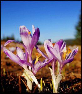Krokusy na Rysiance, 29.04.2012, zdj. E. Nowotarska