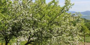 Wiosna w Beskidzie Wyspowym, zdj. Tomek Kubik