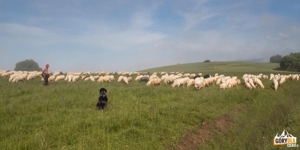 Owieczki nahali Majerz