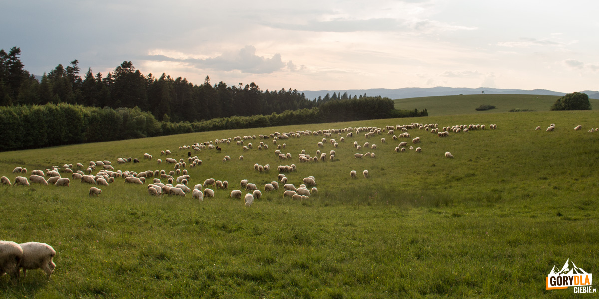 Owieczki na hali Majerz