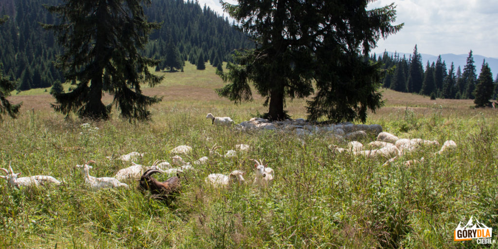 Stado owiec i kóz na Średniej Polanie (słow. Stredná poľana)