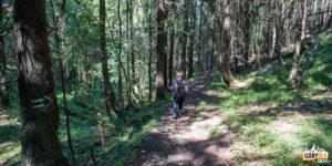 Wspaniałe okazy świerków przy zielonym szlaku