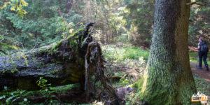 Przy szlaku spotkac można imponujące drzewa