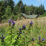 Goryczka trojeściowa (Gentiana asclepiadea), kwitnie od sierpnia do września, jej pojawienie się zwiastuje nadejście jesieni. Tutaj na polanie na drodze zejścia niebieskim szlakiem z Eliaszówki do Kosarzysk