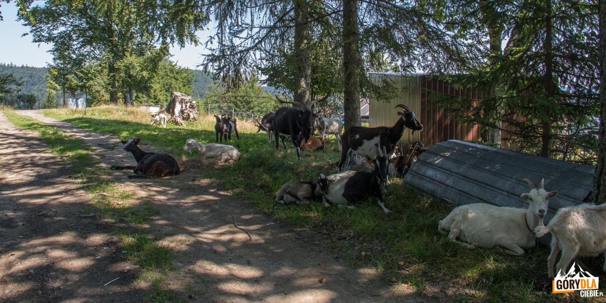 Stadko kóz na Przełęczy Gromadzkiej