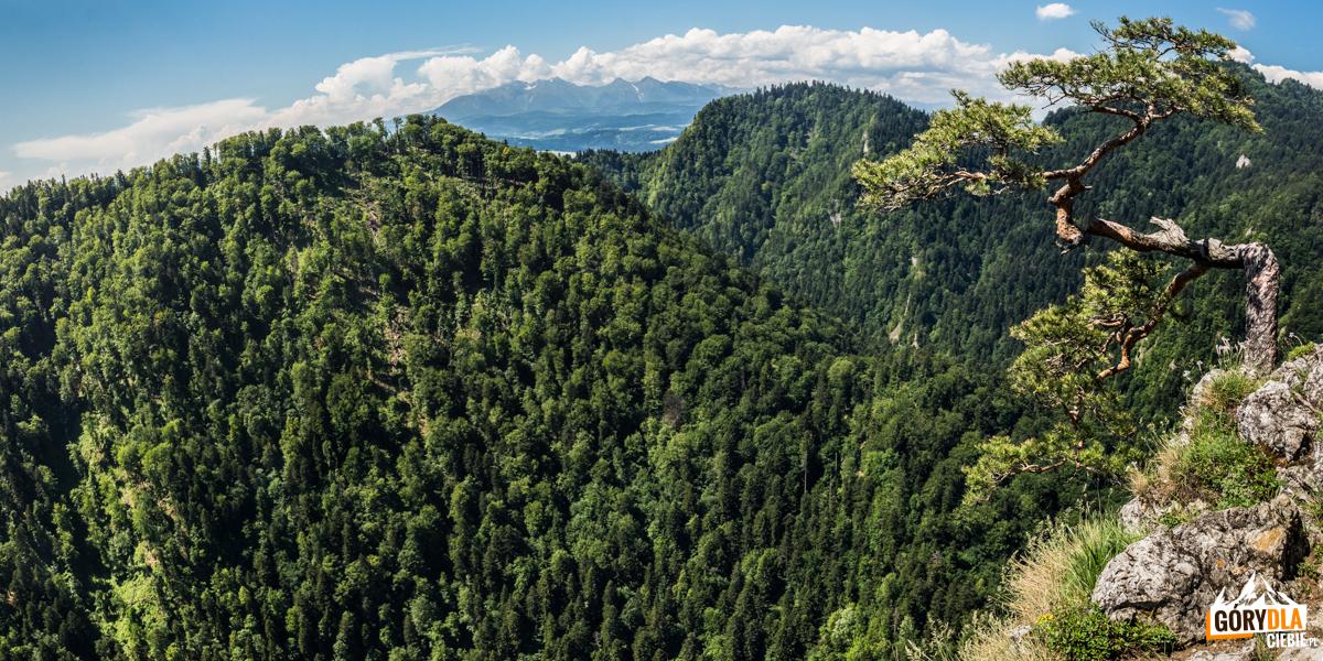 Widok na Tatry ze szczytu Sokolicy i nieistniejaca już słynna sosenka