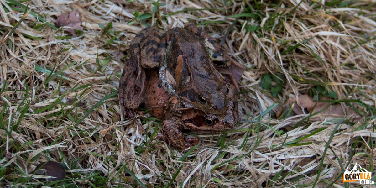 Żabie gody - Lubogoszcz