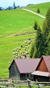 Wypas owiec wDursztynie