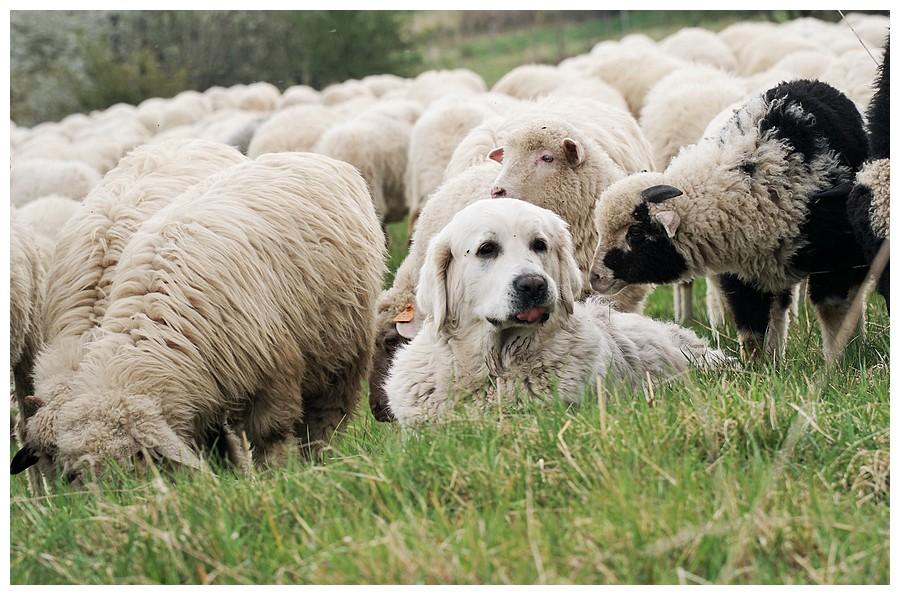Wypas owiec - Skawica