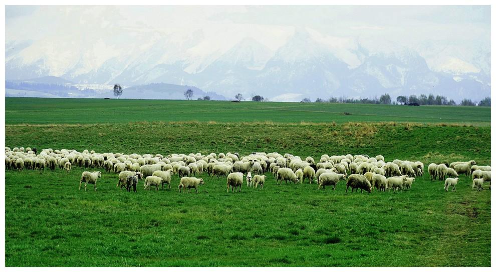 Owce nahali
