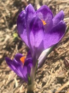 Wiosna w Dolinie Chochołowskiej, zdj. Klaudia Kociołek