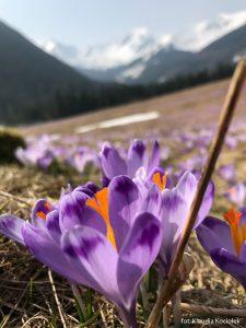 Krokusy w Tatrach, kwiecień 2019