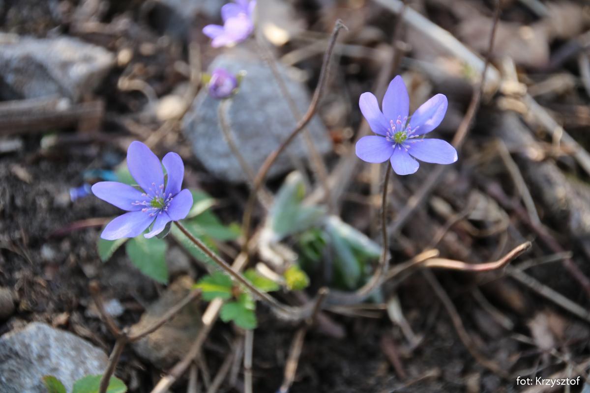 Przylaszczka pospolita (Hepatica nobilis)